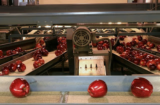 Red apples on conveyor belt being sorted